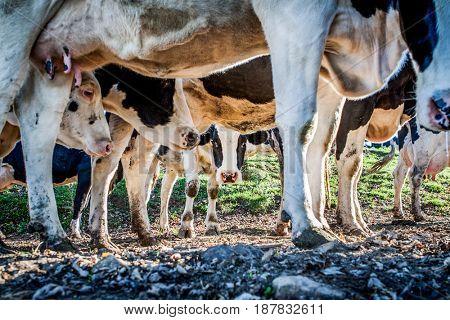 Dairy cow peeking under the herd