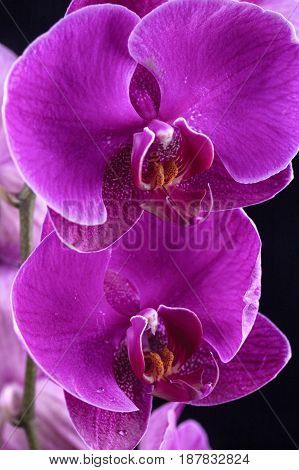 Water drops on two orchid flowers. A close up of two beautiful purple orchid flowers with water drops on them.