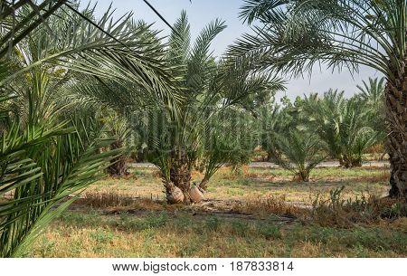 Palm Trees Grove At Northern Israel Kibbutz