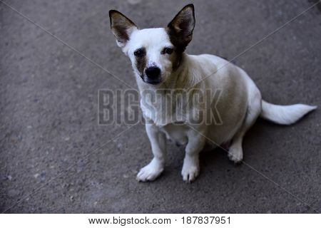 cute white dog homeless pet or purebred animal sitting and waiting on grey ground background copy space