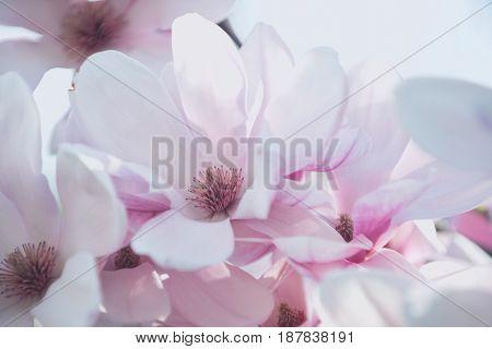 Pink Sakura Or Cherry Blossom In Spring Season, Japan