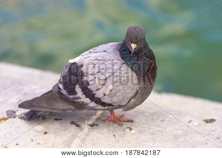 The Cute pigeon at Tuileries Garden at Paris France.