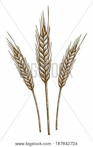 ears of wheat. vector sketch on white background