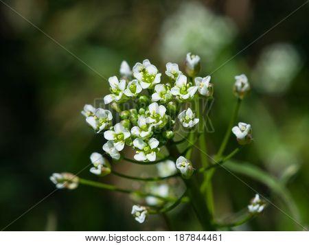 Shepherd's-purse or Capsella bursa-pastoris flowers close-up selective focus shallow DOF.