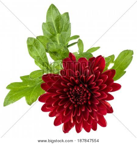 Red chrysanthemum flower isolated on white background
