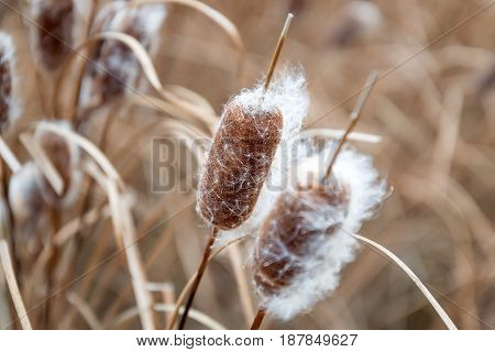 Close up image of Bulrush plant growing next to river