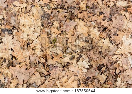 Background of dry fallen oaken leaves on the ground