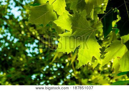Bright green maple leaves on sunny day background