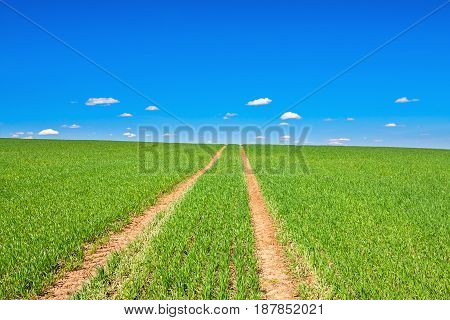 beautiful rural spring landscape with field road and blue sky. agriculture sowed field of wheat