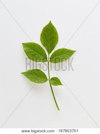 Elder leaves (Sambucus nigra) on white background.
