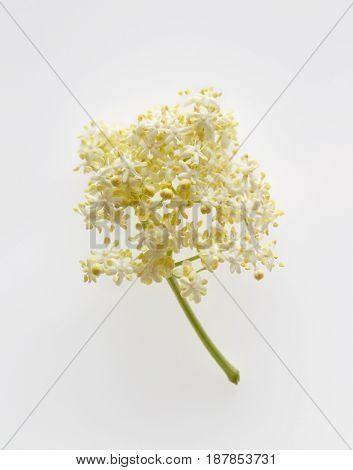 Elderflower blossom flower on white background. Single sprig of elderflower often used to make elderflower cordial.