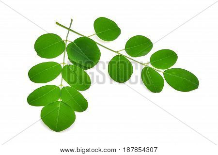 Moringa leavesTropical herbs isolated on white background