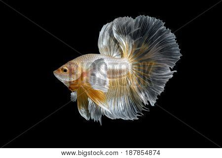 Abstract Close Up Art Movement Of Betta Fish,siamese Fighting Fish Isolated On Black Background.fine