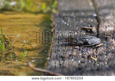 The edible frog (Pelophylax kl. esculentus) rest on wood next to a water. Common water frog or green frog. Little frog in pond