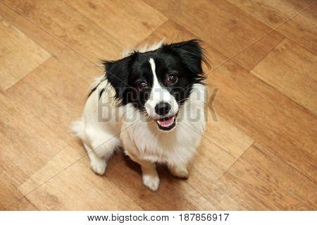 Mongrel dog sitting on brown laminate. Pets