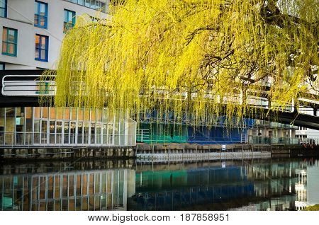 urban whaterway in london with weeping willow in spring