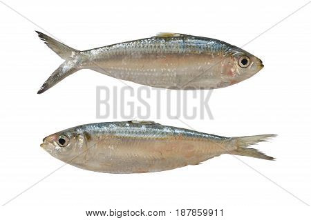Sardinella or Clupeidae fish isolated on white background and have clipping paths to easy deployment.