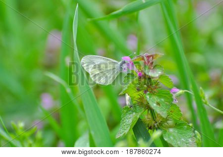 Pieris balcana, Large white butterfly common on the Balkan Peninsula, Artogeia balcana, Balkan Green Veined White