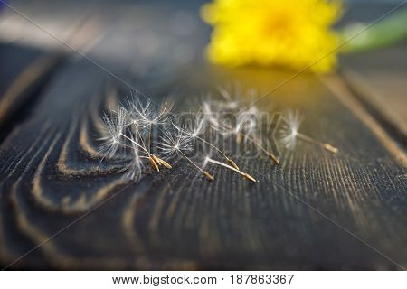 A feather of a dandelion. Lying on the dark wooden surface. A symbol of lightness and magic of flight. The white light seed. Life dissipates in the air.