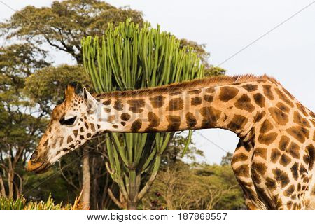 animal, nature and wildlife concept - giraffe at national reserve in africa
