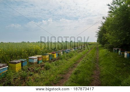 horizontal perspective view of many colorful beehives by the edge of a green forest a canola field and a rural road track with blue sky above