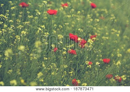 horizontal closeup flowers of red poppy and yellow canola in a green field springtime selective focus