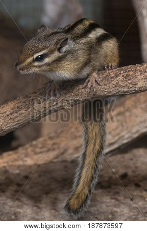 A chipmunk sitting on a dry branch as it keeps it's eyes open for food scraps beneath it's perch.