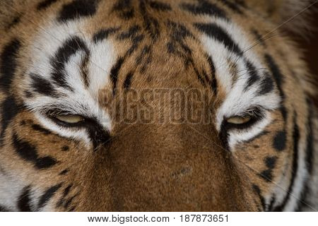 The eyes of a tiger as he starts to fall asleep.