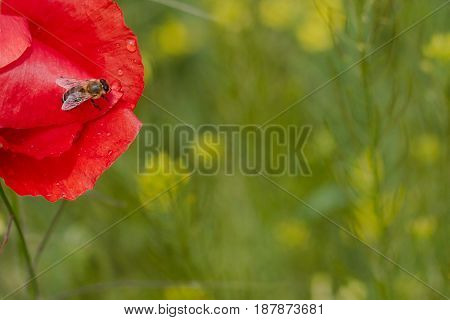 honey bee on a red poppy flower on green grass background copyspace