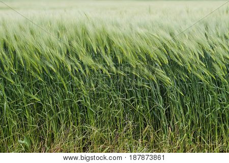 horizontal front view of green field of wheat waving in the wind in springtime