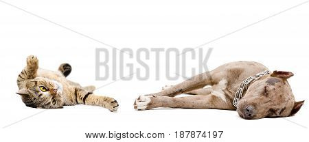 Dog breed pit bull and Scottish Straight cat sleeping together, isolated on white background