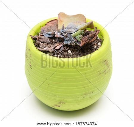 pot of faded succulent plant on a white background