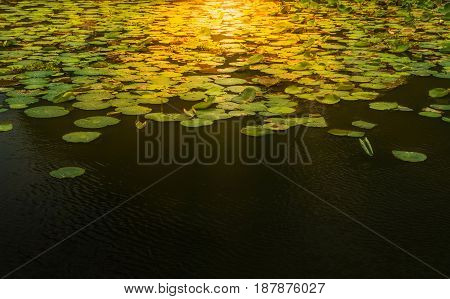 sunlight fall down on the green lotus leaf in the water with copy space.