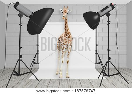 Giraffe Stands At The Center Of A Photography Studio