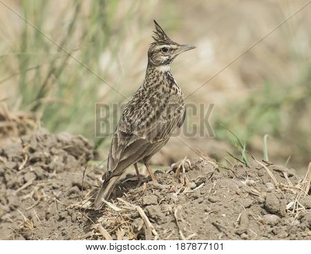 Crested Lark Stood In Rural Field Meadow