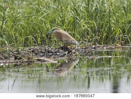 Squacco heron ardeola ralloides perched feeding with fish in mouth on a river bank of grass reeds with reflection over river water