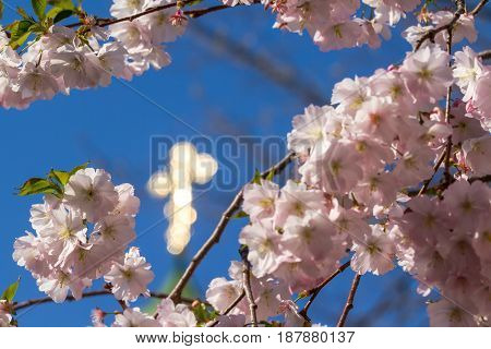 Sakura flowers only blossomed in spring on a tree Against the background of the Christian church with a dome and a Christian cross in the city of Mukacheve Ukraine