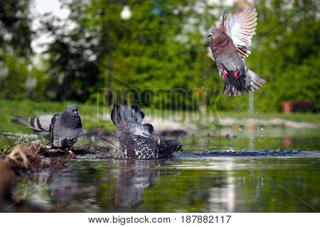Pigeons bathe in the pond. Splashes drops of water. The summer heat