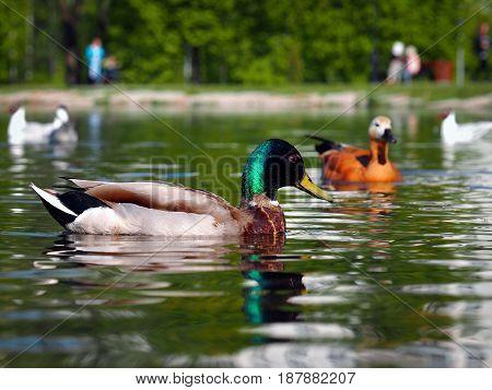 Ducks Drake beautiful. Floating on the water birds