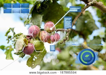 organic farming, gardening and agriculture concept - close up of plum tree branch