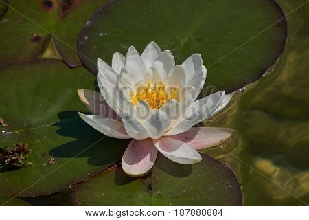 Waterlily On Pond