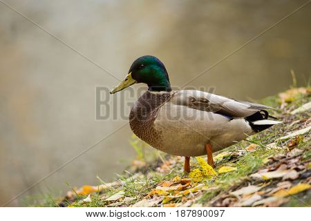 Drake Mallard on land in the fall. Autumn day. Fallen yellow leaves