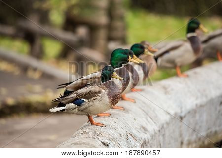 Drakes mallards on the concrete fence near the pond