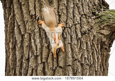 Squirrel on the trunk of an adult tree