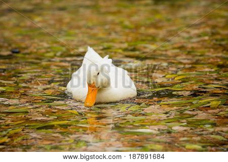 White duck swimming in a pond. Golden autumn, fallen leaves in the water