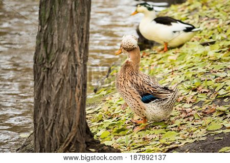 Duck family on the pond. Autumn day. Fallen yellow leaves