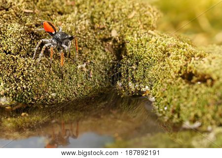 Closeup Jumping spider known as Philaeus chrysops stand over water on moss green. Selective focus
