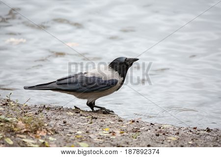 The crow on the shore near the pond