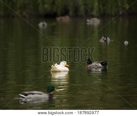 Ducks of the Mallard and white duck in a pond in autumn. Anas platyrhynchos