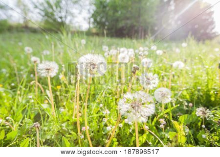 Dandelion At The Meadow